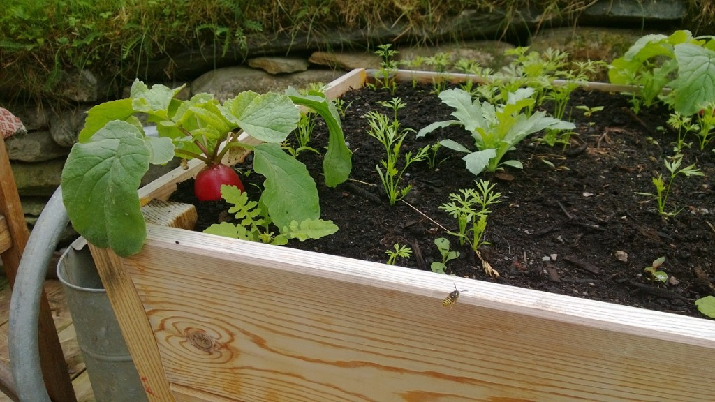 Growing radishes and carrots